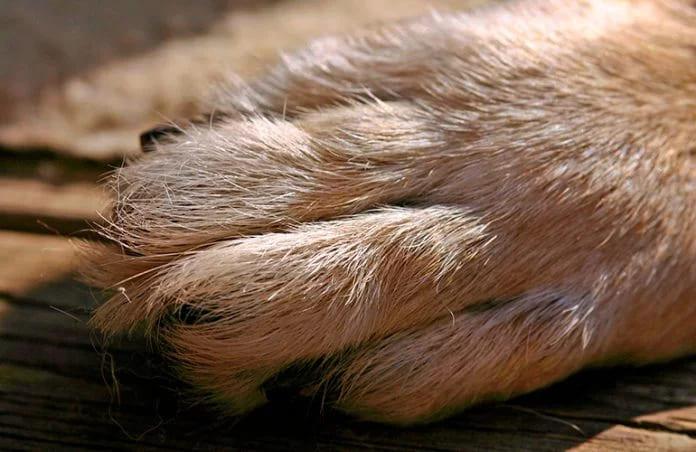 У собаки отекла правая лапа